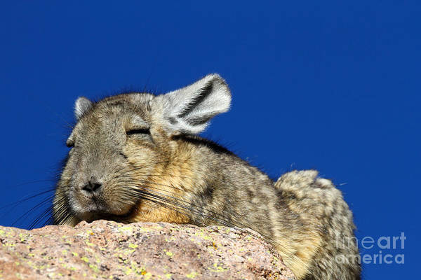Photograph - Southern Viscacha by James Brunker