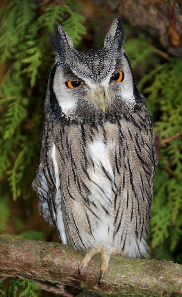 Strigidae Photograph - Southern White-faced Scops Owl by Nigel Downer
