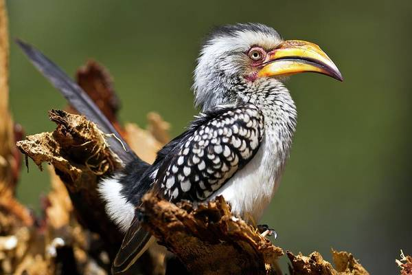 Hornbill Photograph - Southern Yellow-billed Hornbill by Dr Andre Van Rooyen/science Photo Library