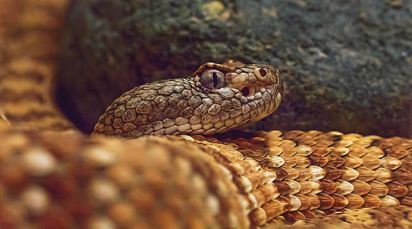 Photograph - Southwestern Speckled Rattlesnake  by Brian Cross