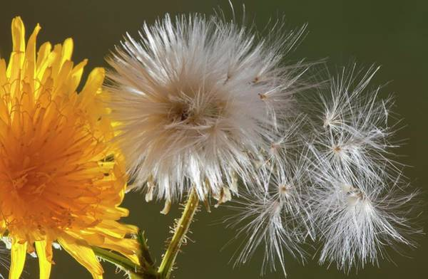 Sow Photograph - Sow-thistle (sonchus Arvensis) by Bob Gibbons/science Photo Library