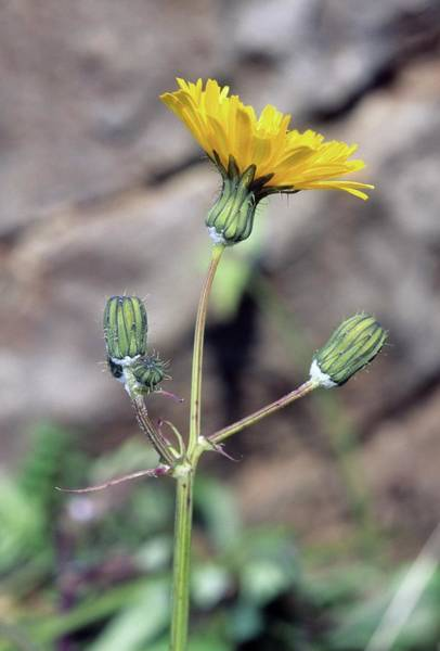 Sow Photograph - Sow Thistle (sonchus Oleraceus) by Bruno Petriglia/science Photo Library