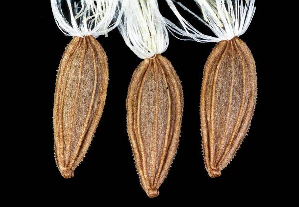 Sow Photograph - Sow-thristle Seeds by Gerd Guenther/science Photo Library