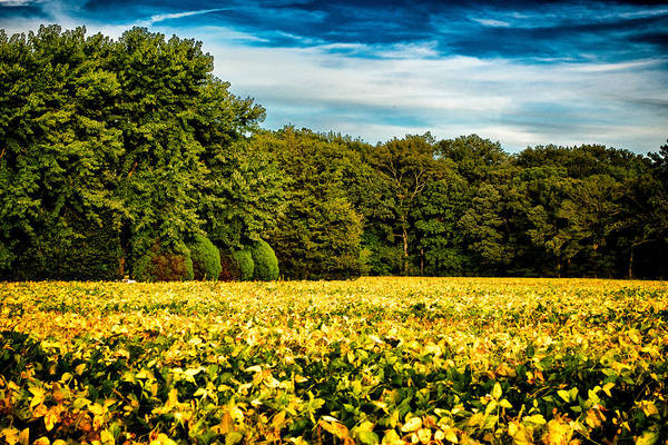 Photograph - Soybeans Ready To Harvest by Bill Swartwout Photography