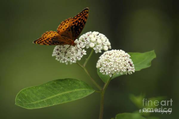 Photograph - Spangled Fritillary by Barbara Bowen