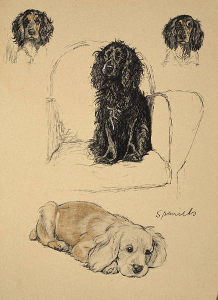 Pet Portrait Drawing - Spaniels, 1930, Illustrations by Cecil Charles Windsor Aldin