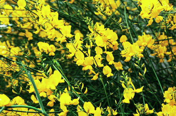 Broom Photograph - Spanish Broom Flowers by Adrian Thomas/science Photo Library