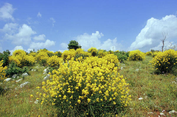 Broom Photograph - Spanish Broom (spartium Junceum) by Bruno Petriglia/science Photo Library