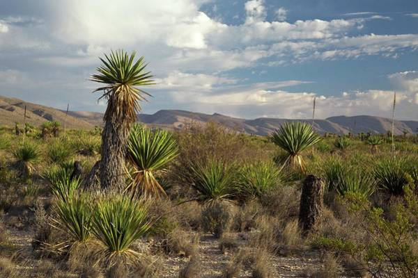 Chihuahuan Desert Photograph - Spanish Dagger (yucca Faxoniana) by Bob Gibbons/science Photo Library