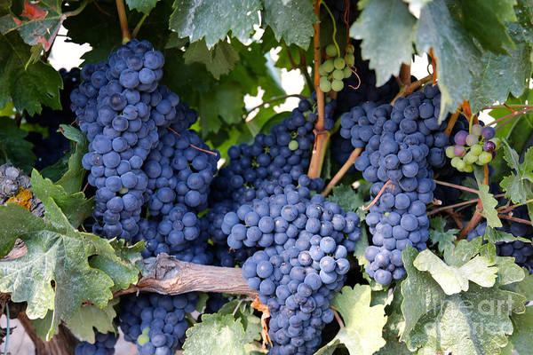 Photograph - Spanish Grapes by Carol Groenen
