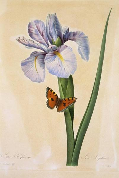 Hand Painted Photograph - Spanish Iris Iris Xiphium by Natural History Museum, London/science Photo Library