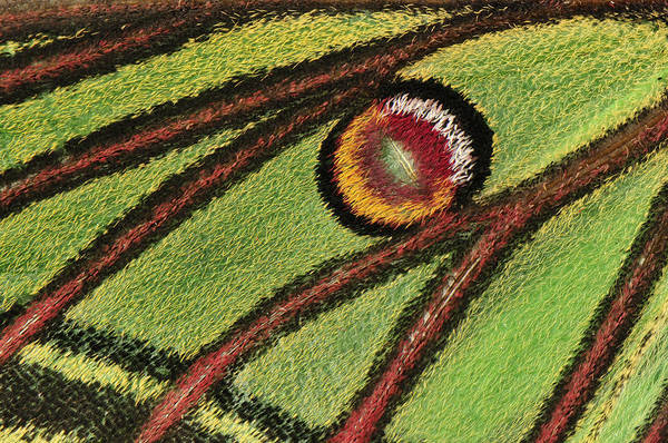 Photograph - Spanish Moon Moth Wing Detail by Thomas Marent