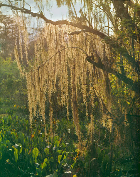 Photograph - 149736-spanish Moss  by Ed  Cooper Photography
