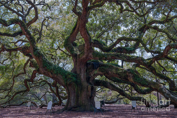 Photograph - Spanish Moss Draped Limbs by Dale Powell