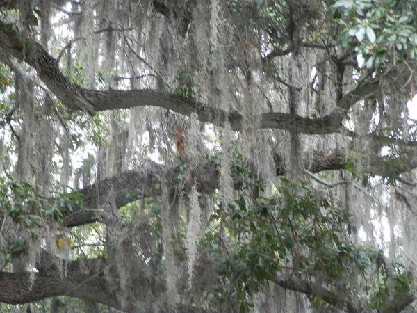 Ione Painting - Spanish Moss by Ione Hedges