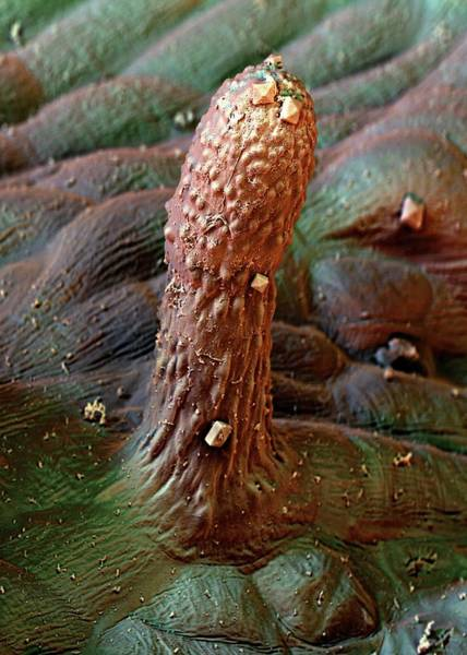Bell Peppers Photograph - Spanish Pepper Leaf Trichome by Stefan Diller