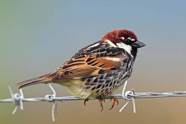 Barn Swallow Wall Art - Photograph - Spanish Sparrow On Barbed Wire by Bildagentur-online/mcphoto-schaef
