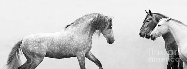 Andalusian Stallion Wall Art - Photograph - Spanish Stallion Approches The Mares by Carol Walker