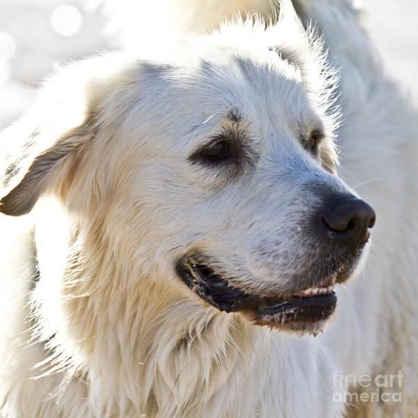 Photograph - Spanish White Dog by Heiko Koehrer-Wagner