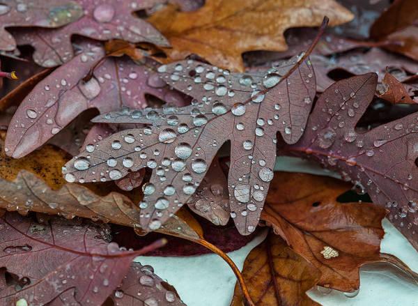 Photograph - Sparkling Oak Leaves by Lara Ellis