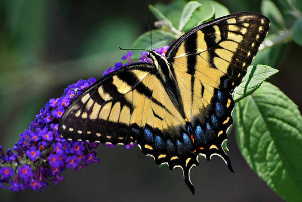 Photograph - Sparkling Swallowtail by Leda Robertson