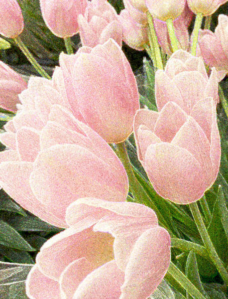 Photograph - Sparkling Tulips by Joanne Smoley