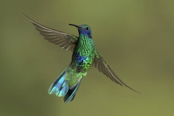 Colibri Photograph - Sparkling Violet-ear  Manu Np Peru by Glenn Bartley