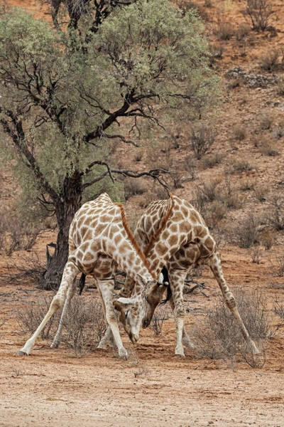 Wall Art - Photograph - Sparring Giraffes by Tony Camacho/science Photo Library