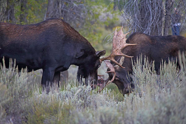 Photograph - Sparring Moose by Jean Clark