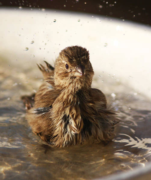 Photograph - Sparrow Bathing by Jean Clark