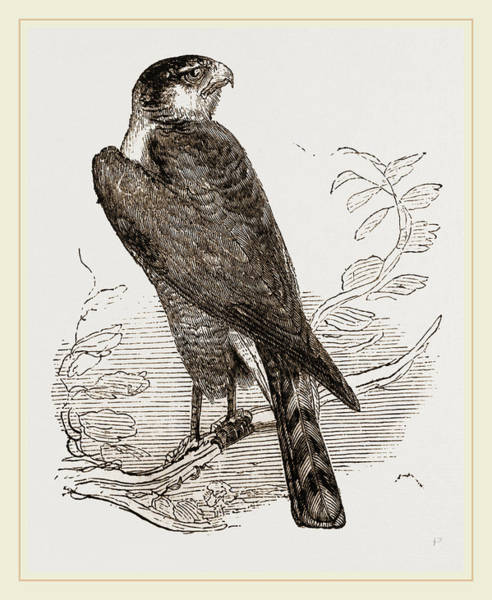 Hawk Drawing - Sparrow-hawk by Litz Collection