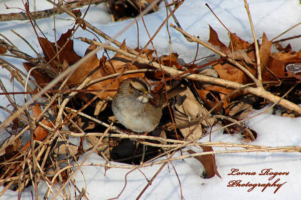 Photograph - Sparrow Hideout by Lorna R Mills DBA  Lorna Rogers Photography