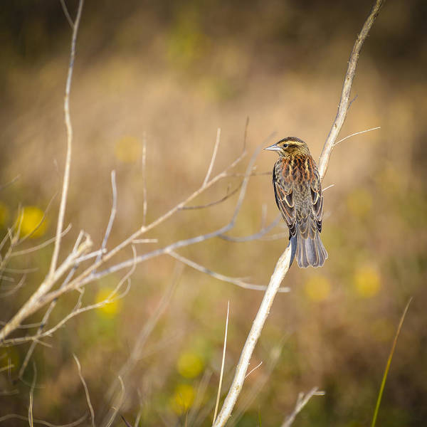 Photograph - Sparrow In Marshland by Carolyn Marshall