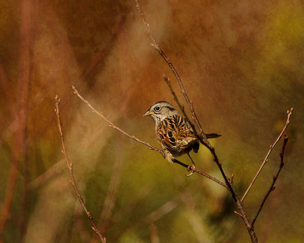 White-throated Sparrow Photograph - Sparrow In The Bush by Susan Capuano