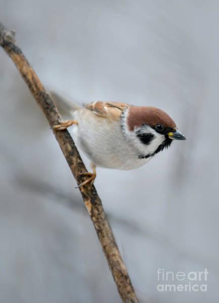 Photograph - Sparrow by Jaroslaw Blaminsky