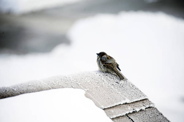 Wall Art - Photograph - Sparrow by Jessica Rose