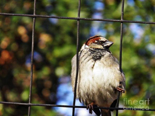 Sparrow On A Wire Fence Art Print