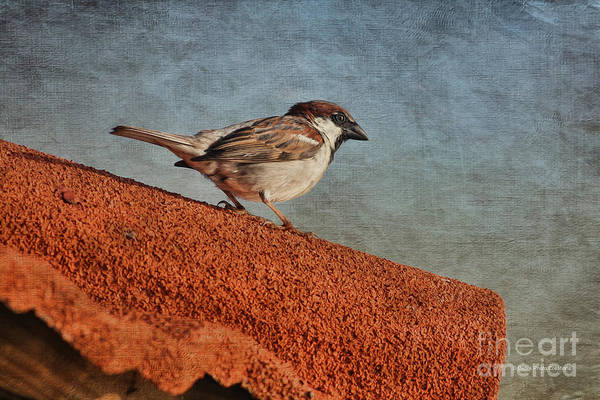 Photograph - Sparrow On The Roof by Deborah Benoit