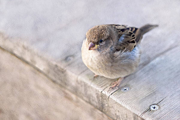 House Sparrow Photograph - Sparrow - Takeoff Problems by Alexander Senin