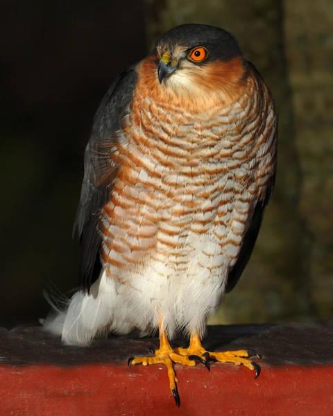 Photograph - Sparrowhawk by Gavin Macrae