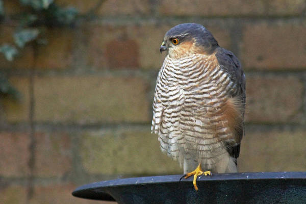 Photograph - Sparrowhawk On Birdbath by Tony Murtagh
