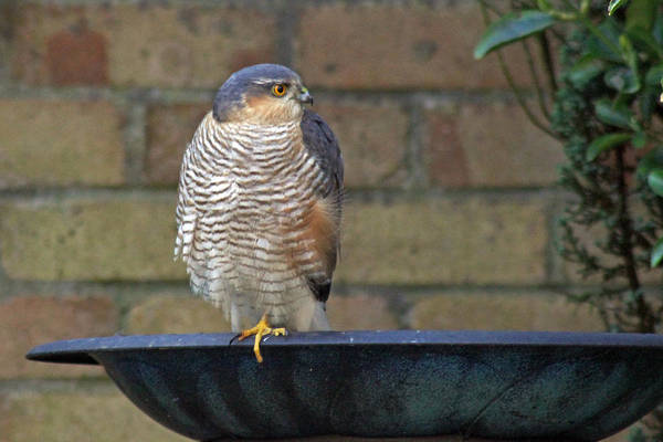 Photograph - Sparrowhawk by Tony Murtagh