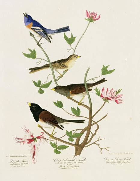 Dark Eyed Junco Photograph - Sparrows And Bunting by Natural History Museum, London/science Photo Library