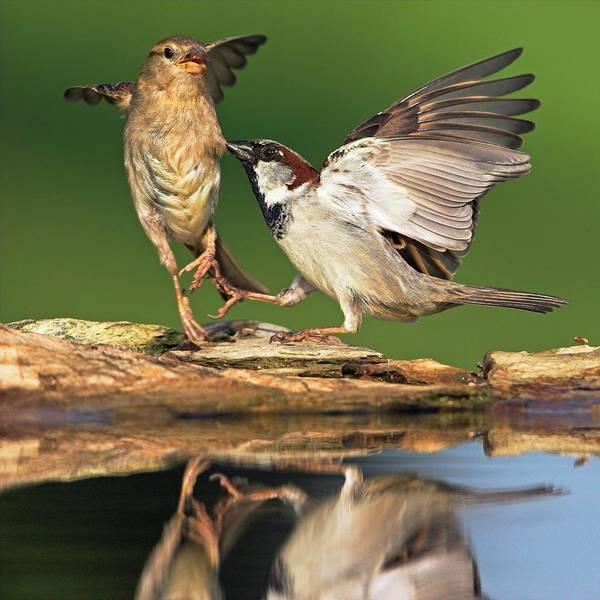 House Sparrow Photograph - Sparrows Fighting by Bildagentur-online/mcphoto-schaef