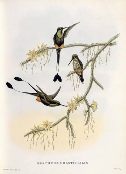 Ecuador Wall Art - Painting - Spathura Solstitialis by John Gould