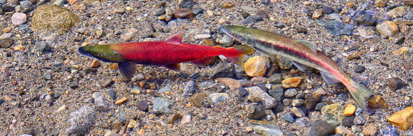 Photograph - Spawning Pair by Jim Thompson