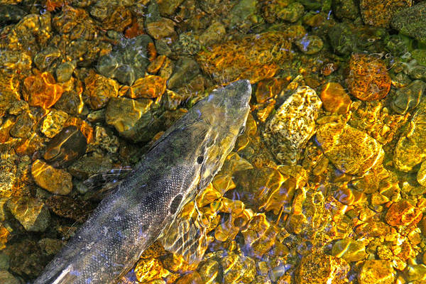 Photograph - Spawning Salmon In A Creek by Peggy Collins