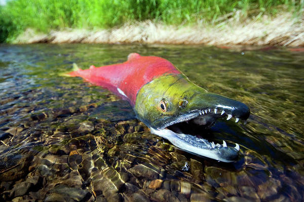 Bristol Photograph - Spawning Sockeye Salmon, Lake by Nick Hall