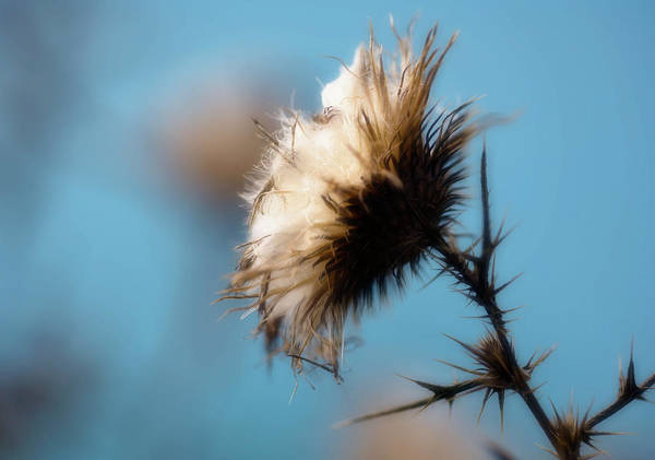 Biennial Photograph - Spear Thistle (cirsium Vulgare) by Maria Mosolova/science Photo Library