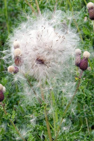 Thistle Photograph - Spear Thistle Seedheads by Adrian Thomas